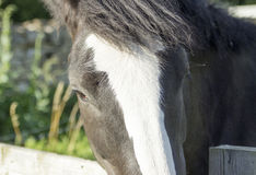Pony Looking über einem Zaun Stockfotografie