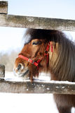 Pony looking out of the winter  corral Stock Photo