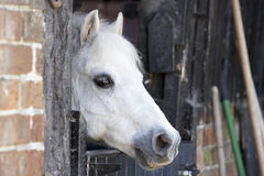 Pony Looking Over Stable Door Royalty Free Stock Photography