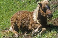 Pony lying down in Topanga, CA Stock Images