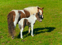 Pony mare and foal Stock Images