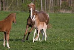 Pony mare with little foal Royalty Free Stock Photography