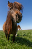 Pony on meadow. Close up of pony on meadow Royalty Free Stock Photos