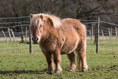 Pony on the meadow Royalty Free Stock Photo