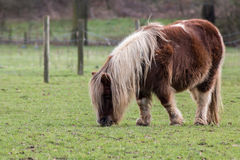 Pony on the meadow Stock Image