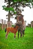 Pony mit Fohlen Stockfoto