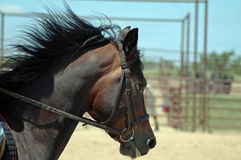 Pony in Motion. Close up of brown horse pony with mane flying Royalty Free Stock Images