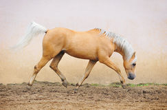 Pony moving Royalty Free Stock Photos