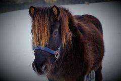 Pony Mumu. Winter charm and pony love that makes the heart go warm in a season of cold Royalty Free Stock Photography