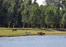 Pony near river Stock Photography