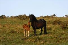 Pony with New Born Foal. Wild ponies roam the highlands of Dartmoor in Devon Stock Images