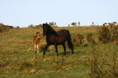 Pony with New Born Foal. Wild ponies roam the highlands of Dartmoor in Devon Stock Photography