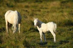 Pony with New Born Foal. Wild ponies roam the highlands of Dartmoor in Devon Stock Photos