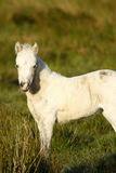Pony with New Born Foal. Wild ponies roam the highlands of Dartmoor in Devon Royalty Free Stock Image
