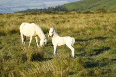 Pony with New Born Foal Stock Photos