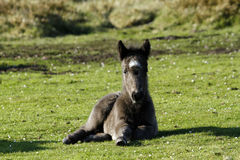 Pony with New Born Foal. Wild ponies roam the highlands of Dartmoor in Devon Royalty Free Stock Photos