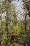 Pony in the New Forest. Pony in the springtime forest royalty free stock photography