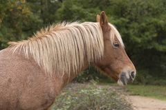 A New Forest pony Royalty Free Stock Photography