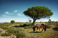 Pony Pasturing Stock Images