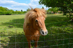 A pony peering over fence Stock Image