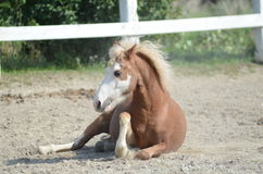 Pony playing outside in the pasture. A young pony plays and rolls on a summer day Royalty Free Stock Images