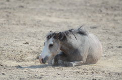 Pony playing outside in the pasture. A young pony plays and rolls on a summer day Stock Image