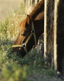 Pony poking his head through paling Royalty Free Stock Photography