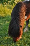 Pony. Eating grass from a meadow Stock Photography