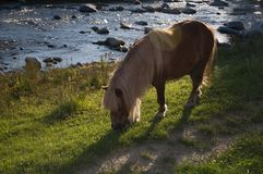 Pony. Eating grass from meadow at sunset Stock Images