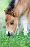 Pony portrait. Close-up of a very friendly pony's face Royalty Free Stock Photos