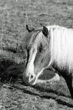 Pony portrait in black and white Stock Images