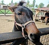 Pony portrait Royalty Free Stock Photo