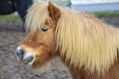 Pony portrait Royalty Free Stock Photo