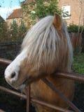 Stallion Pony Portrait  Stock Photography