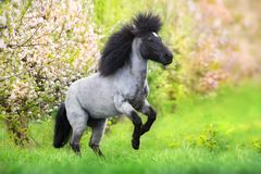 Pony rearing up royalty free stock photography