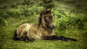 Pony at rest Royalty Free Stock Image