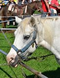 White pony ready for a ride at the county fair. Pony ride at the Walworth County fair on a sunny summer day stock photography
