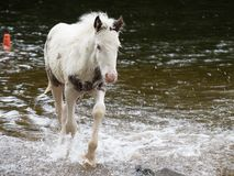 Pony in River Royalty Free Stock Image