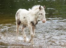 Pony in River Royalty Free Stock Photo