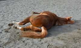 Pony rolling on ground. Stock Photography