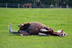 Pony rolling in his field Stock Image