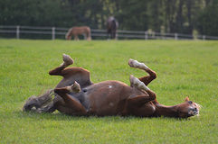 Pony rolling in his field Stock Photo