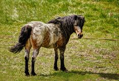 Speckled Pony. She is an older, very loving pony in a pasture with other horses stock photography
