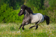 Pony run fast. Beautiful grey pony with long mane run gallop Royalty Free Stock Images