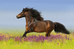 Pony run in flowers Stock Images