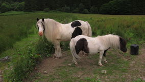 Pony in Scotland. Lovely Pony and horse stay together stock photo