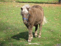 Pony. Shetland pony just hangs around with full size horses and all get along Stock Image
