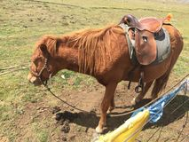Pony on the Sichuan-Tibet line stock photography