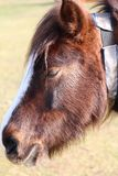 Pony side of head close up shot. In the New Forest Hampshire England stock photography
