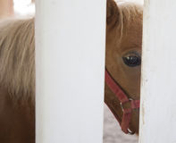 Pony. A small brown pony standing behind white fence Stock Image